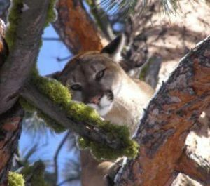 Mountain Lion Hunt