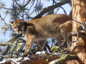 Montana Mountain Lion Hunting