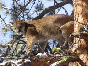 Montana Mountain Lion Hunting