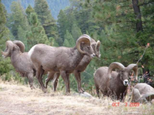 Bighorn Sheep Hunting in the Bitterroot Valley